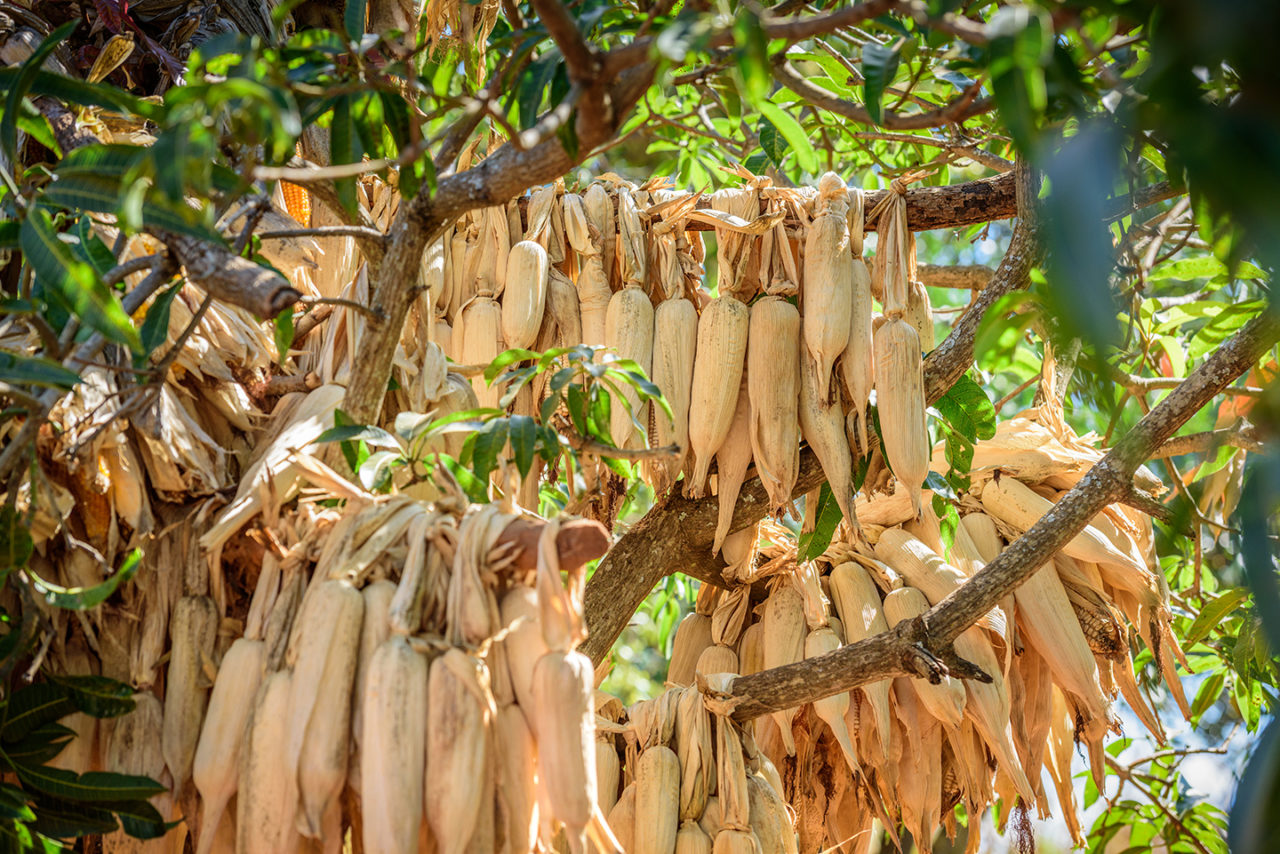 Ears of corn that John has grown hang in a mango tree drying.
