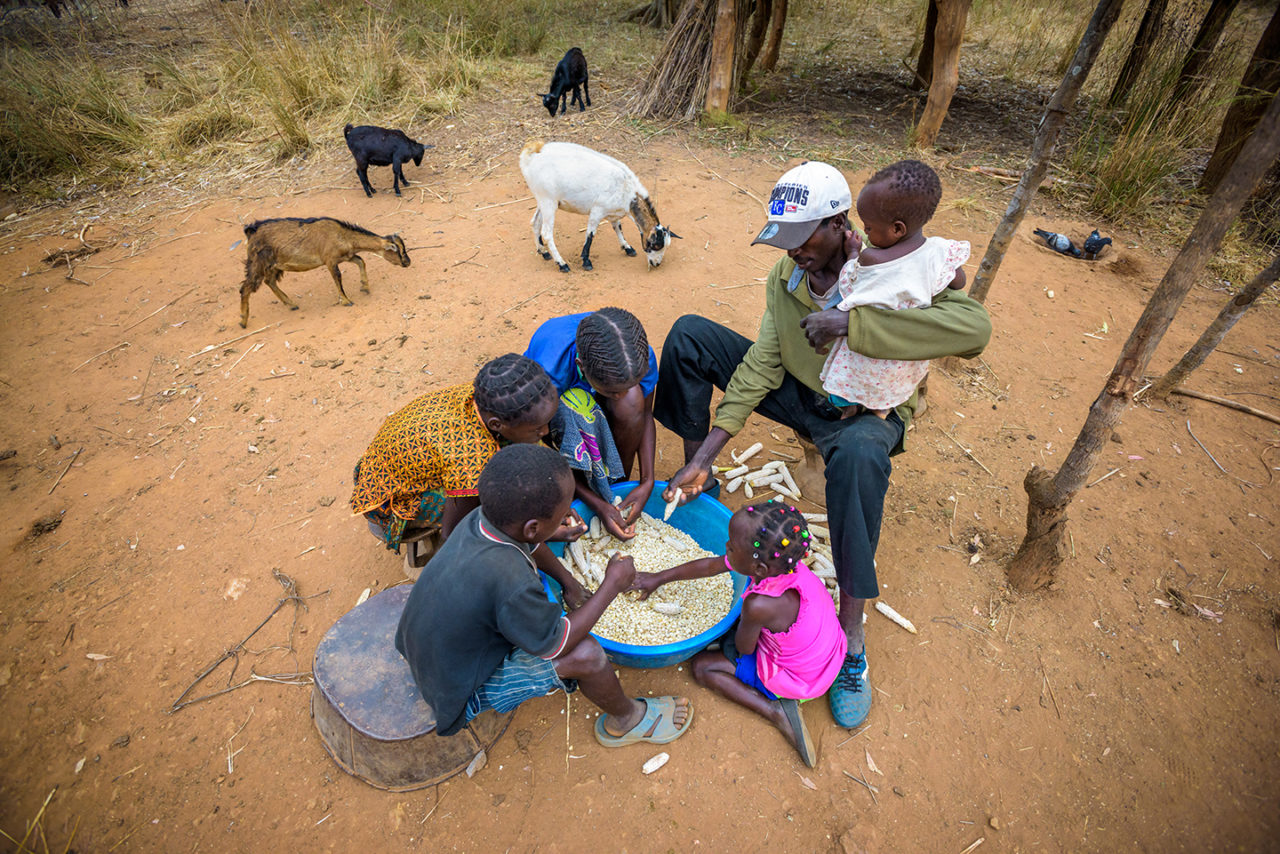 Eunice and Diyo's family removes dried corn kernels from the cobs while the goats they received through the Pass On program wander behind them. They'll make their nshima from it, which is their main staple for their diet.