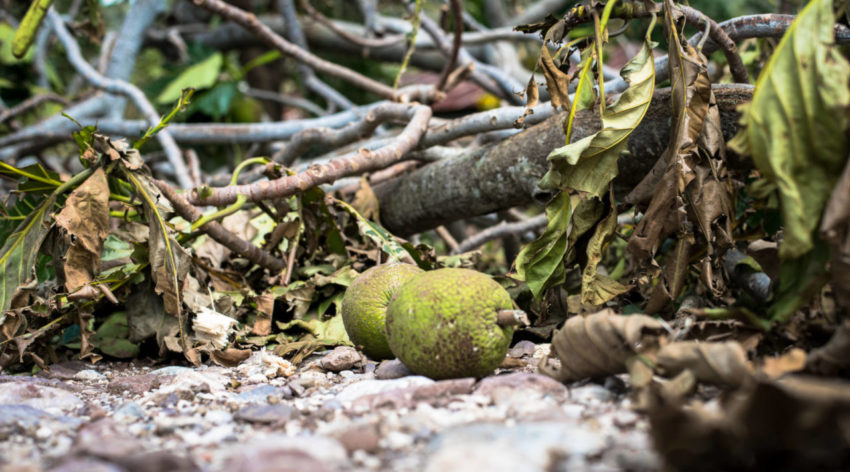Breadfruit and the trees that bore them lie broken on a roadside on Haiti's southern coast. Bananas and other crops that were plentiful have been decimated by Hurricane Matthew. (©2016 Guy Vital-Herne/World Vision)
