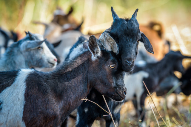 Goats gifted through the World Vision Gift Catalog are benefitting families in Zambia.