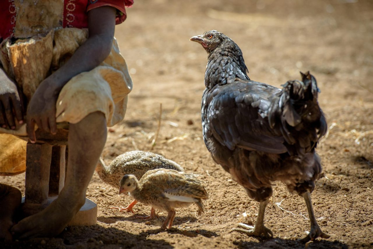 A chicken cares for the baby guinea fowl she hatched. Eunice and Diyo raise chickens, guineas, and pigeons, as well as goats to supplement their farming income.