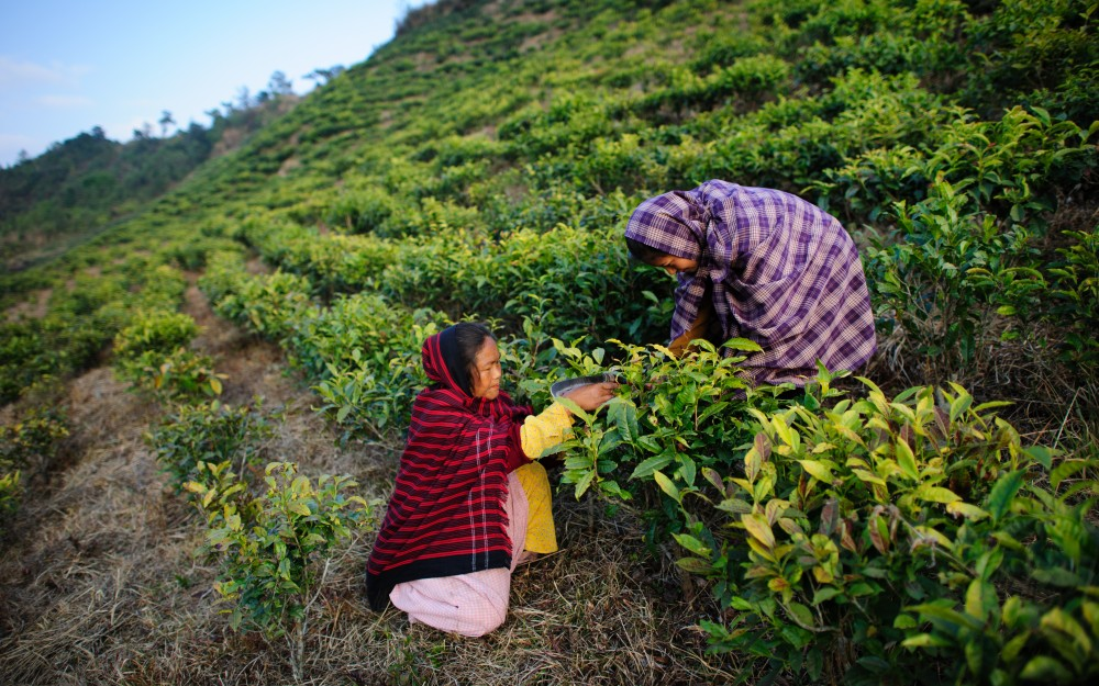 Phameria Umsong and her daughter, Bilsina, 15, prune tea plants in the highlands of northeast India.