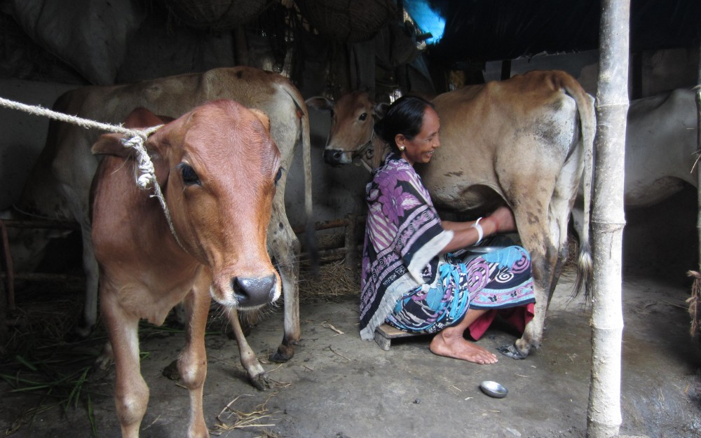 Dipaly's family drink a quarter of the milk from their cow and sells the rest to a local milk vendor.