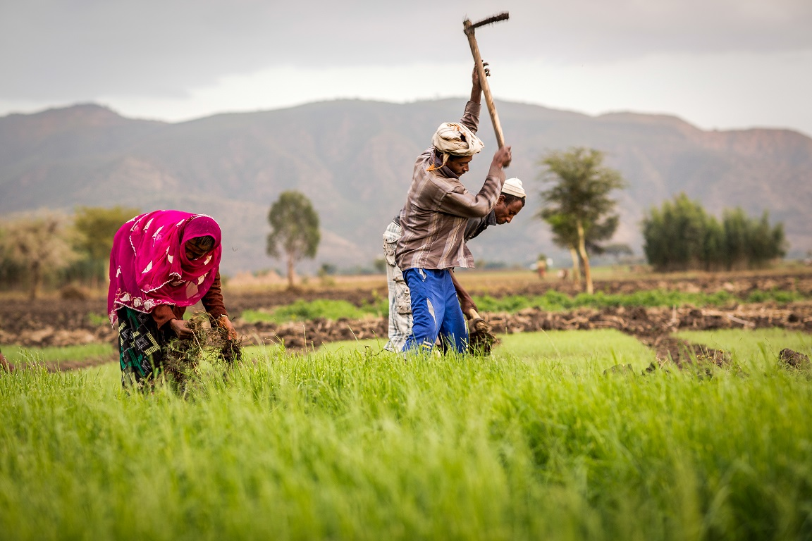 An Ethiopian farmer works his land