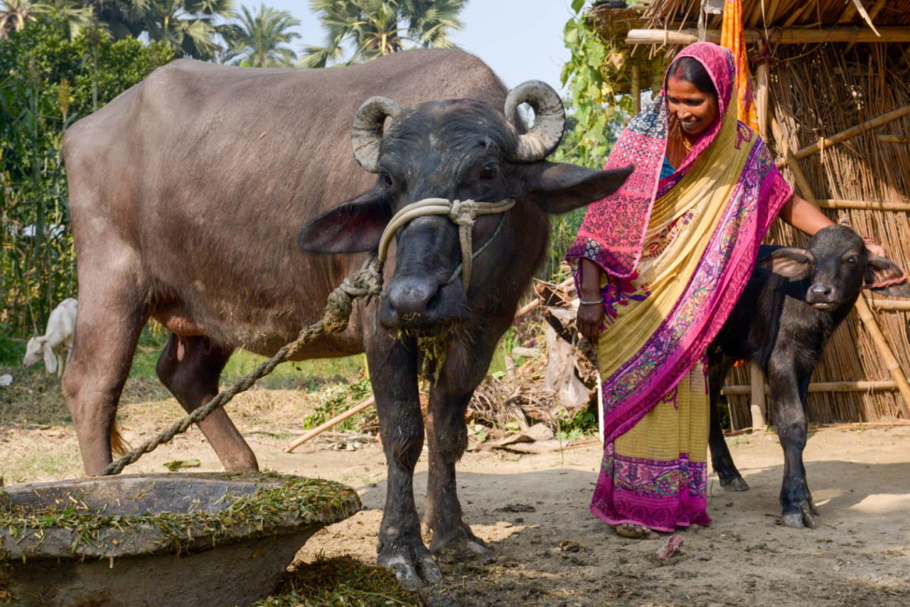 Renu received one of 600 buffaloes distributed in her community as part of the World Vision's economic development program, and the buffalo was the source of the family's reconciliation.